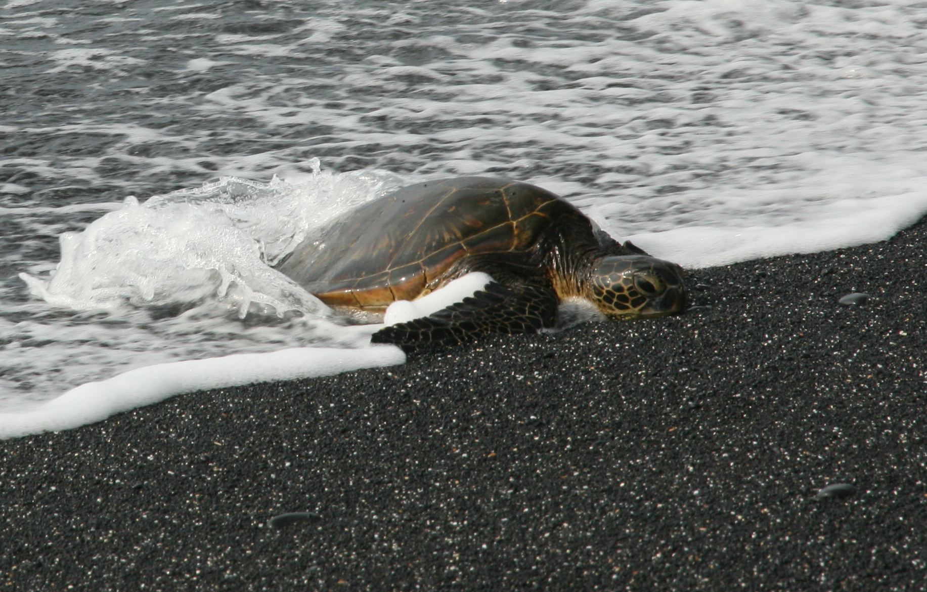 Beached Big Island Sea Turtle