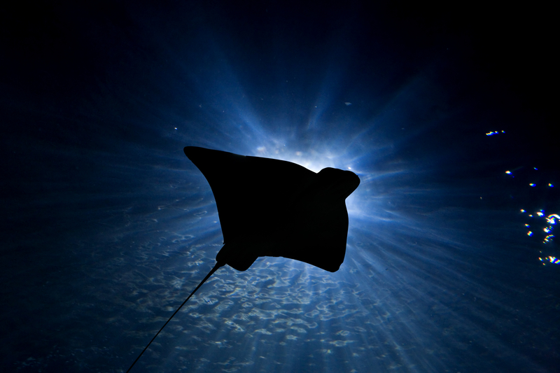 Big Island Manta Ray (night dive)