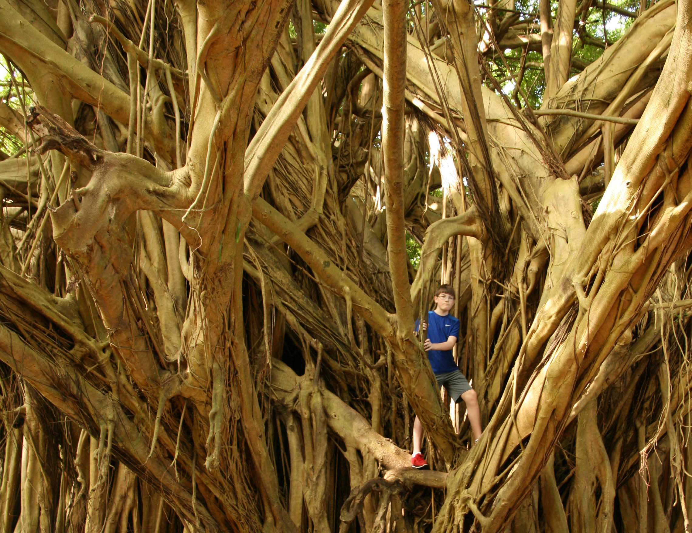 What Can You Do On Hawaii's Big Island With Kids: climb Banyan Tree at Rainbow Falls