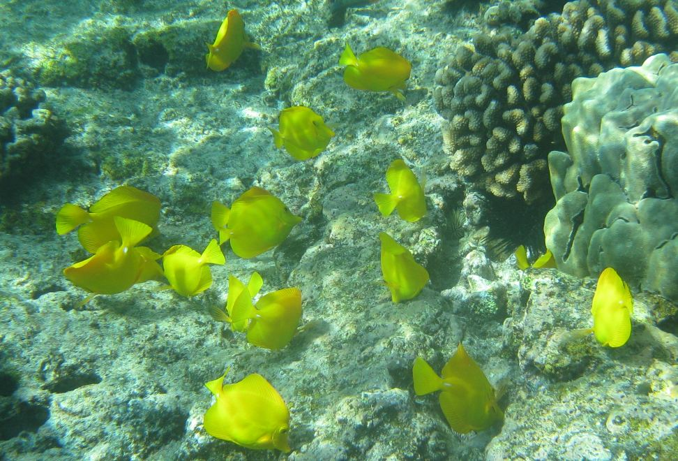 Yellow Tang at Poipu Beach